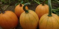 cooking fresh pumpkin