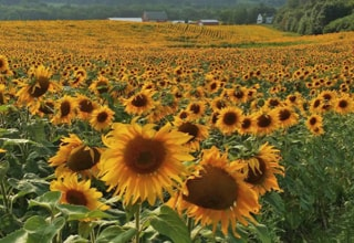 BP Farms sunflower fields